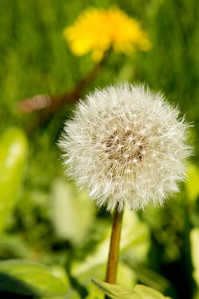Dandelion Seeds stock photo