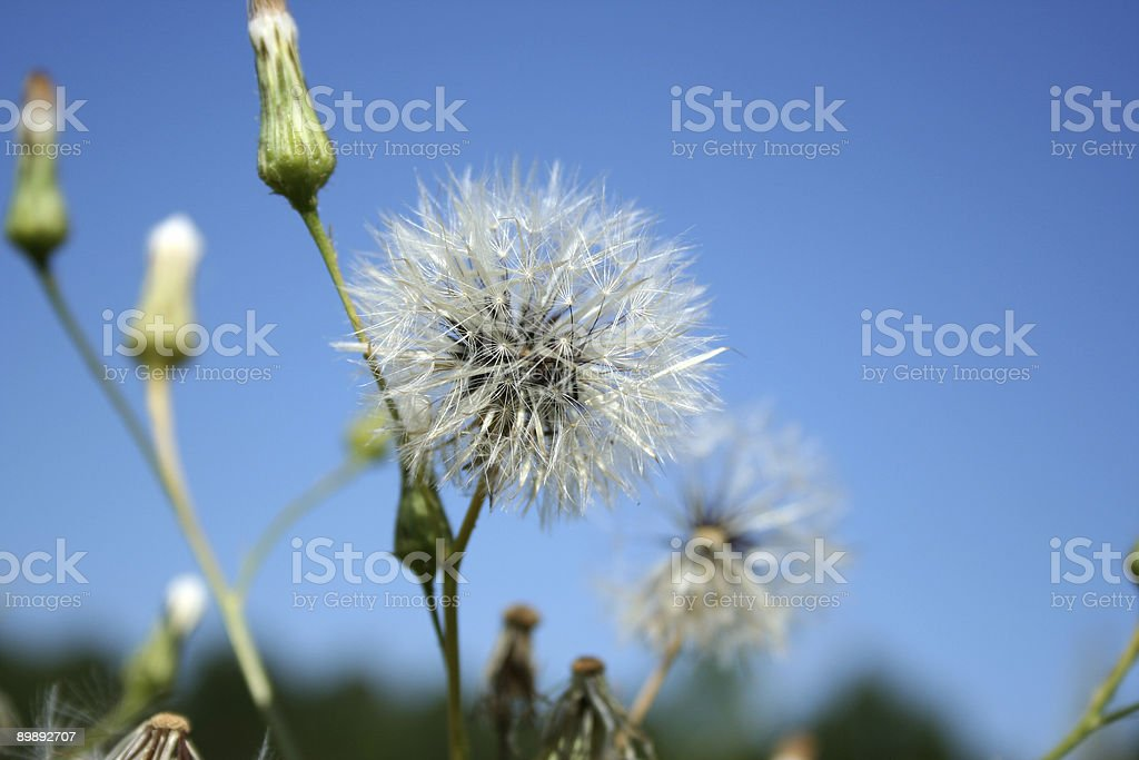 Dandelion Seeds royalty-free stock photo