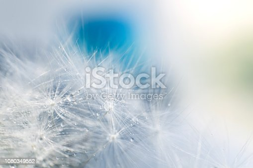 istock dandelion seeds with drops of water on a blue background  close-up 1080349552