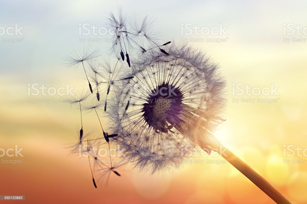 Dandelion silhouette against sunset stock photo