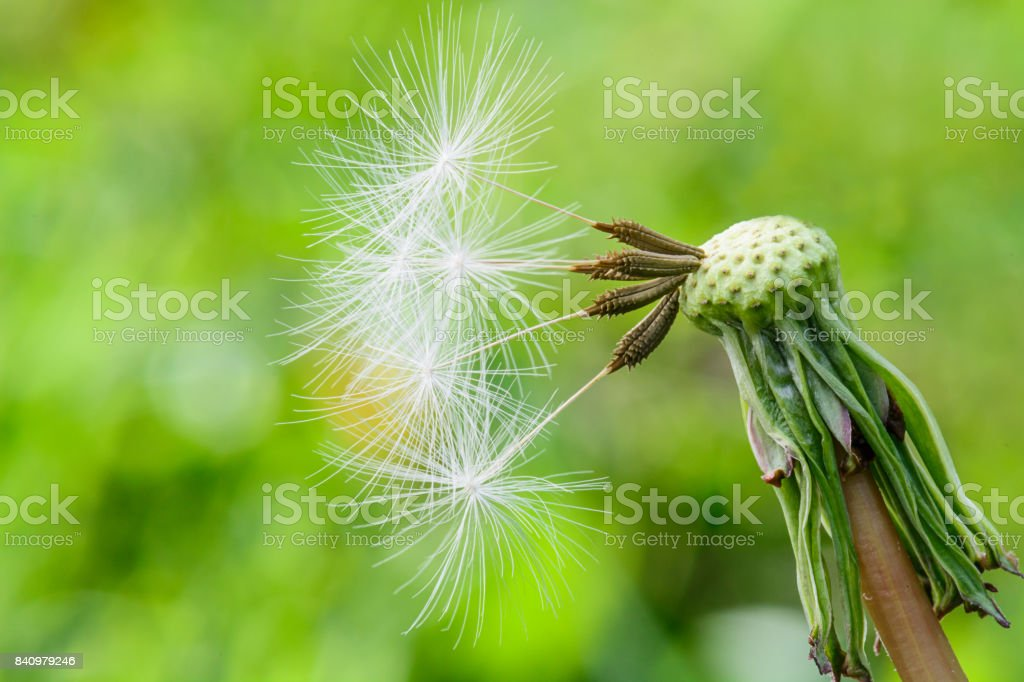 Dandelion spores and seeds stock photo