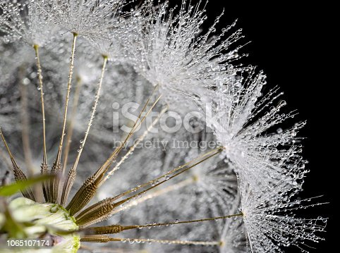 184093103 istock photo Dandelion Super macro closeup, showing seeds and water rain droplets, black background 1065107174