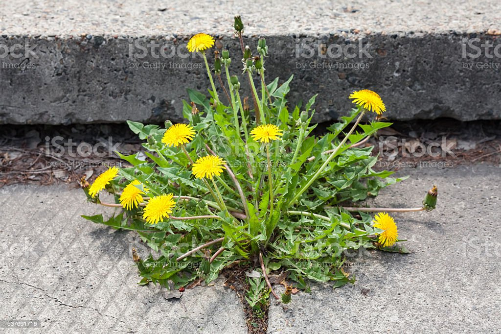 Dandelion, taraxacum officinale, growing on pavement stock photo