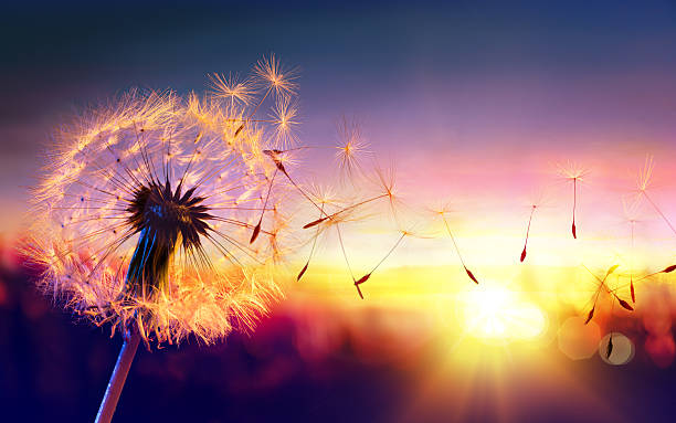 dandelion to sunset - freedom to wish - paardenbloem stockfoto's en -beelden