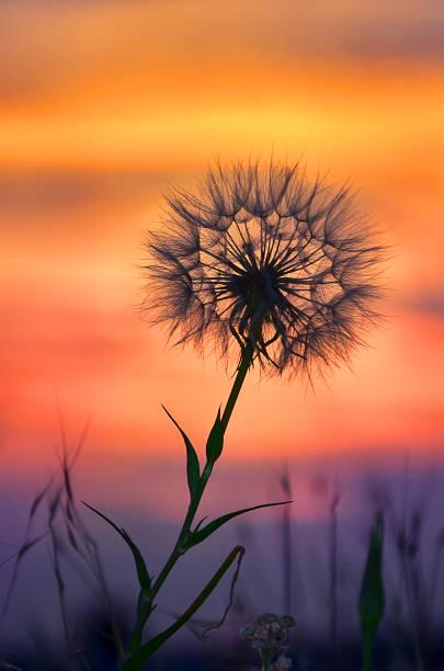 Dandelion To Sunset - Freedom to Wish stock photo