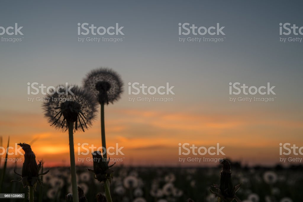 Dandelion To Sunset royalty-free stock photo