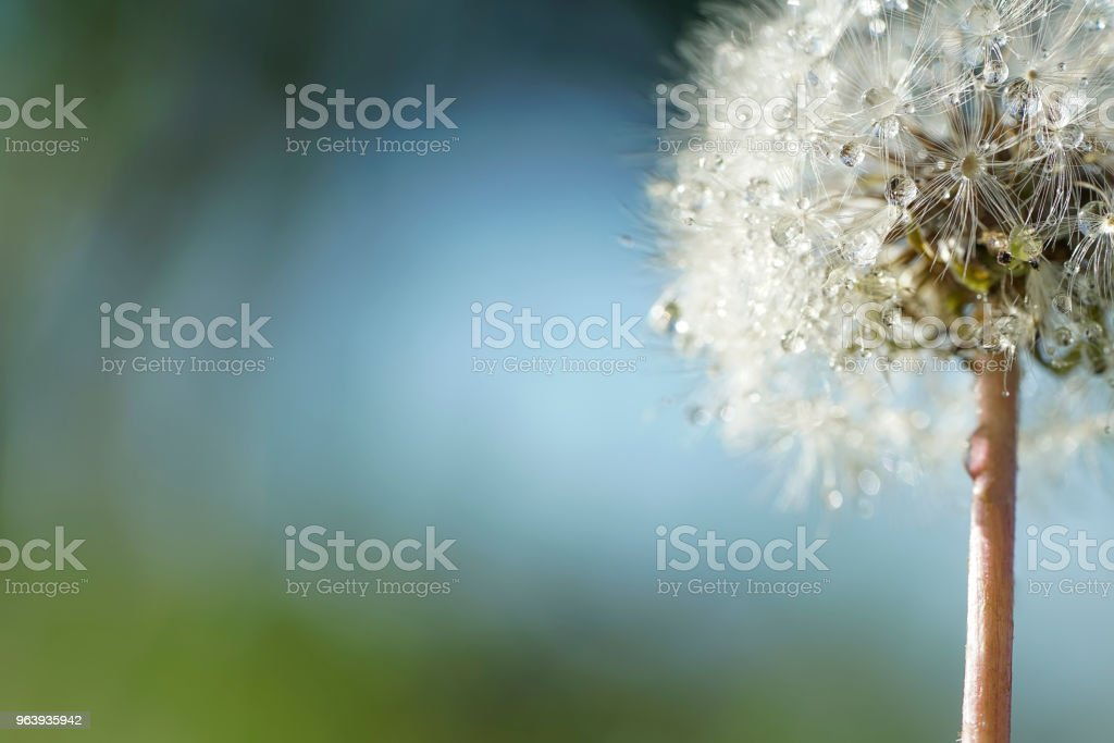 Dandelion Water Droplets - Royalty-free Beauty In Nature Stock Photo
