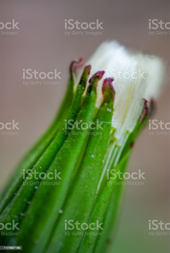 Dandelion weed bud closed stock photo