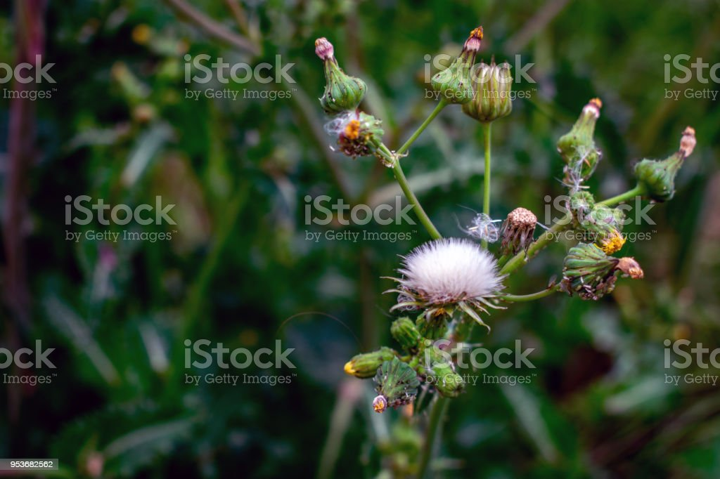 dandelion weed flower bush stock photo