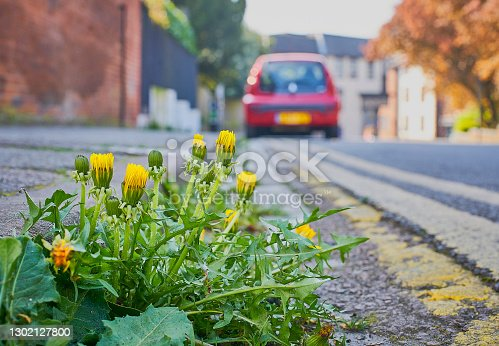 istock Dandelion weed growing on a sidewalk pavement by the road side 1302127800