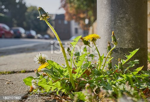 istock Dandelion weed growing on a sidewalk pavement by the road side 1302127852