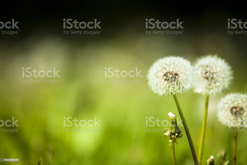 Dandelion weed in a backyard stock photo