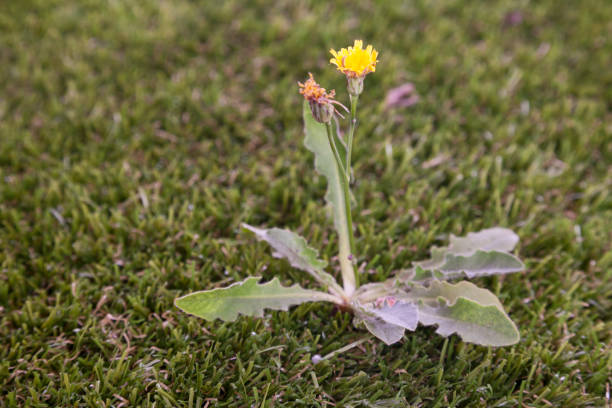 Dandelion weed on lawn. stock photo