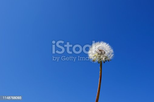 Close-up of Dandelion white head of seeds against blue sky with copy space.