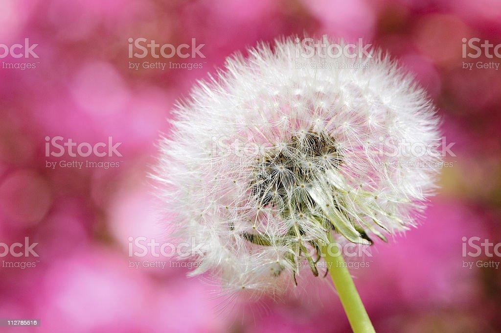Dandelion with colorful azaleas stock photo