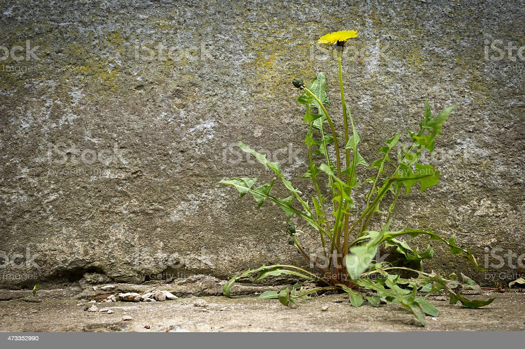 Dandelion with flower, growht of concrete stock photo