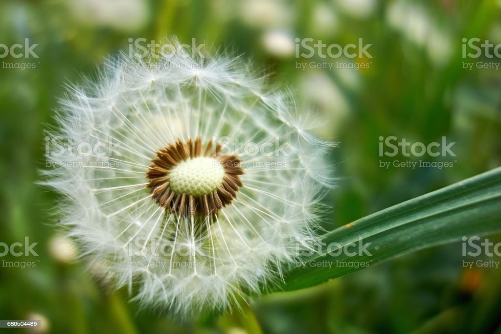 Dandelion with fluff foto stock royalty-free