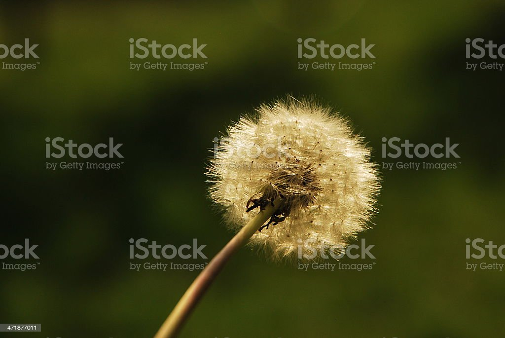 Dandelion with green background royalty-free stock photo