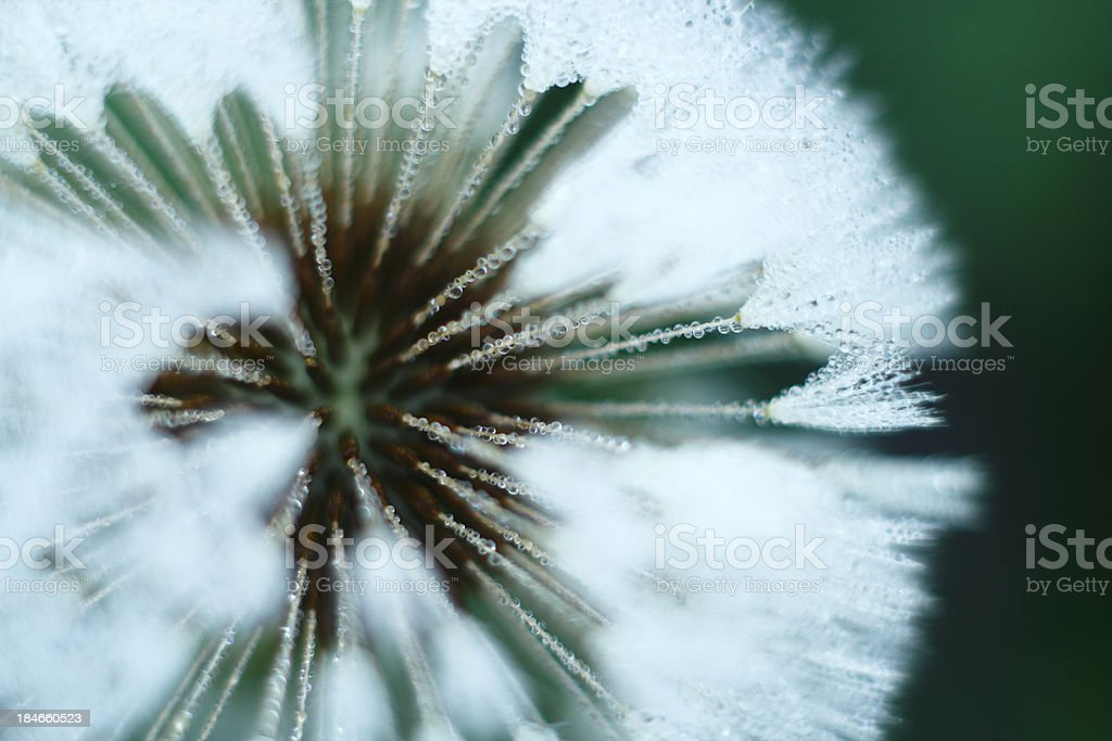 Dandelion with morning dew stock photo
