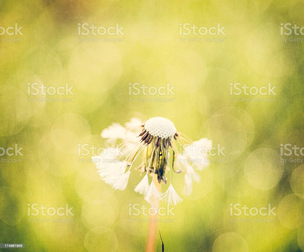 Dandelion with Natural Bokeh royalty-free stock photo
