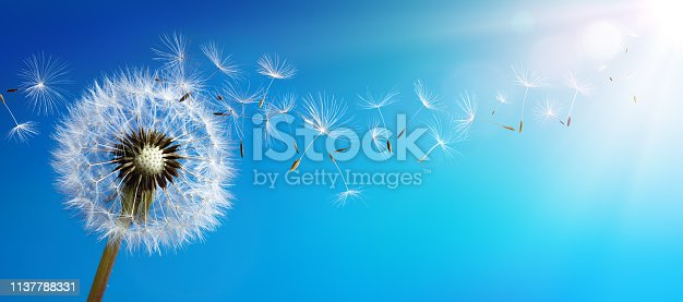 Dandelion With Seeds Blowing In Blue Sky