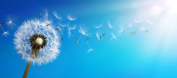 löwenzahn mit seeds blowing away blue sky - löwenzahn korbblütler stock-fotos und bilder