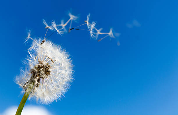 dandelion with seeds blowing away - paardebloemzaad stockfoto's en -beelden