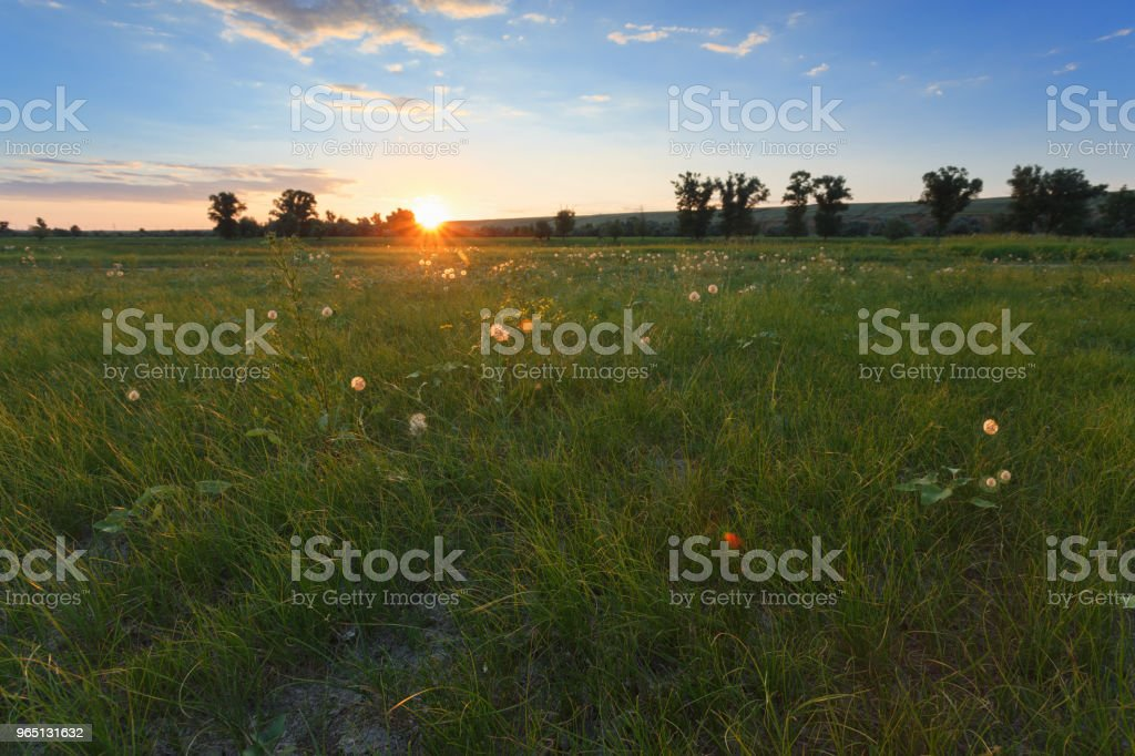 Dandelions and a field of green grass. The sun's rays are shining from behind the horizon. Blue sky and clouds. Behind the tall trees the hill zbiór zdjęć royalty-free