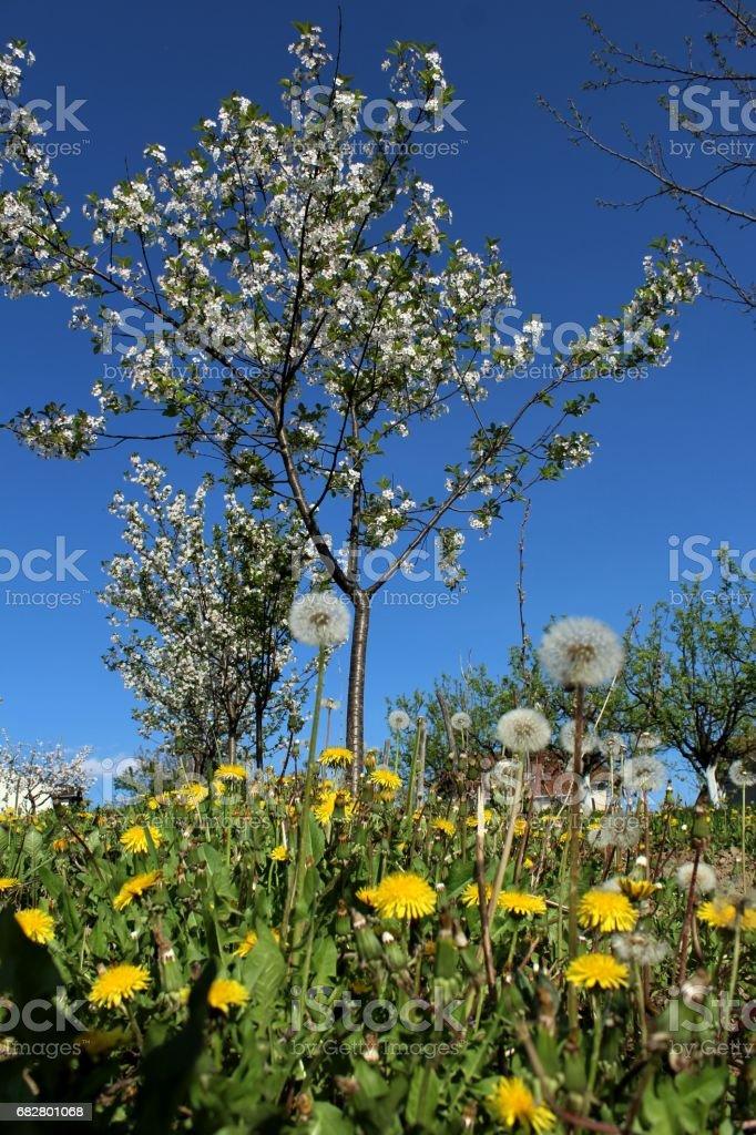 Dandelions and cherry tree Lizenzfreies stock-foto
