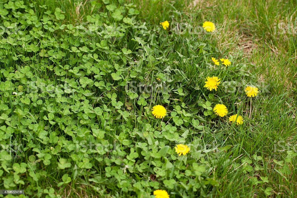 Front or Back Yard with dandelion, clover, and other weeds crowding...