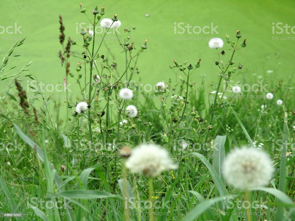Dandelions and Other Weeds, Growing Near Roadside Pond royalty-free stock photo