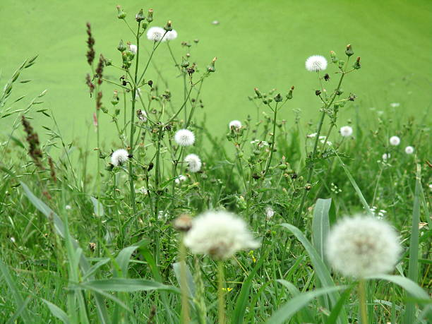 Dandelions and Other Weeds, Growing Near Roadside Pond stock photo