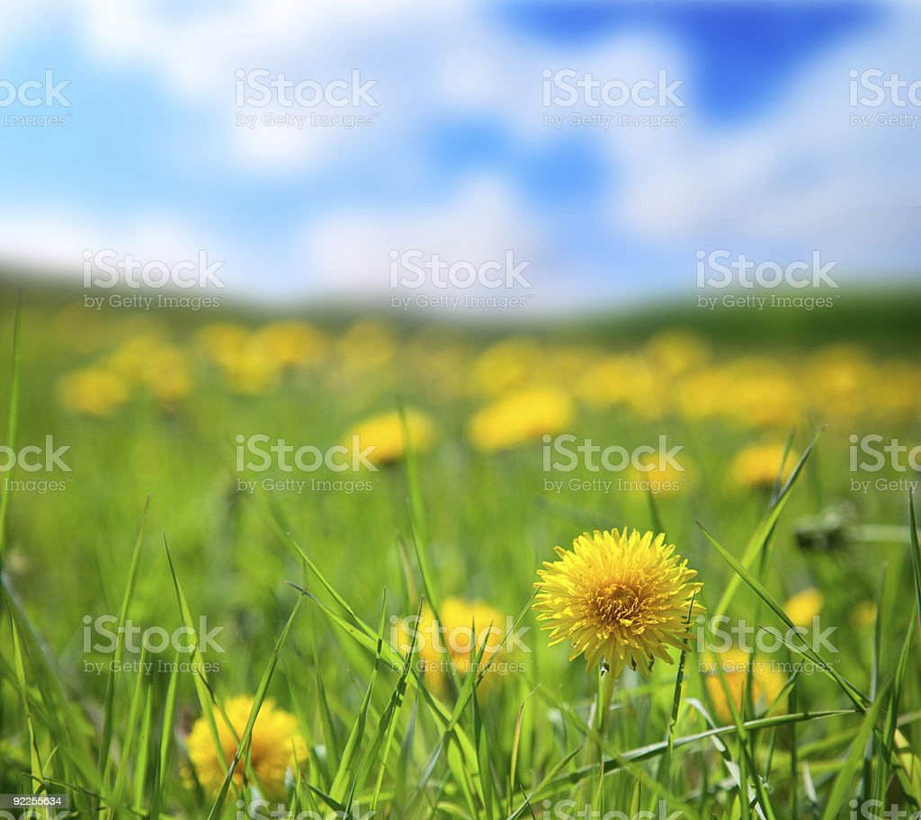 dandelions and sunny day royalty-free stock photo