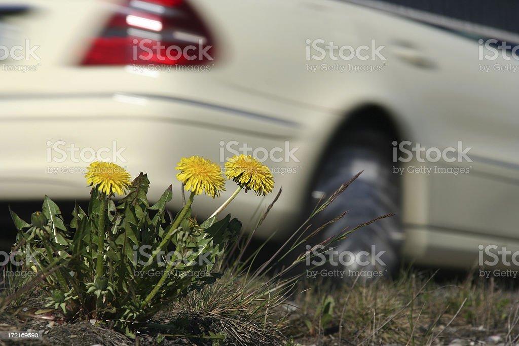 Dandelions at Roadside royalty-free stock photo