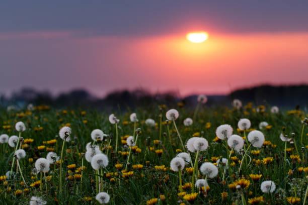 Dandelions at sunset stock photo