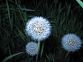 Dandelion in the evening on a dark green background with grass