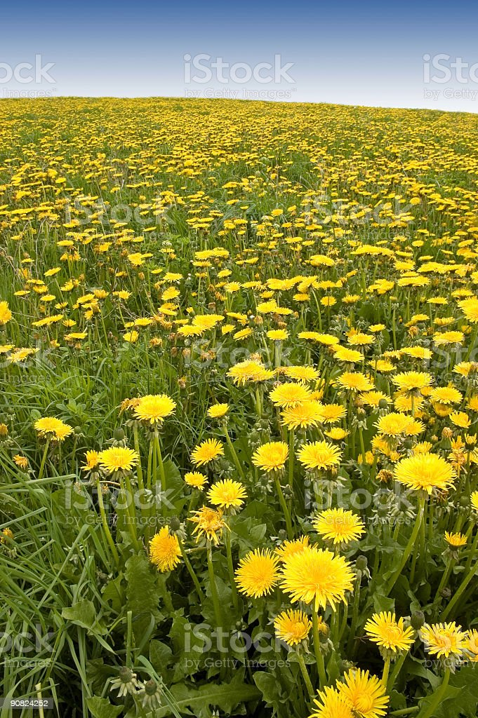 Dandelions Forever royalty-free stock photo