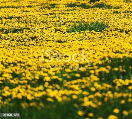 A vast field of dandelions.