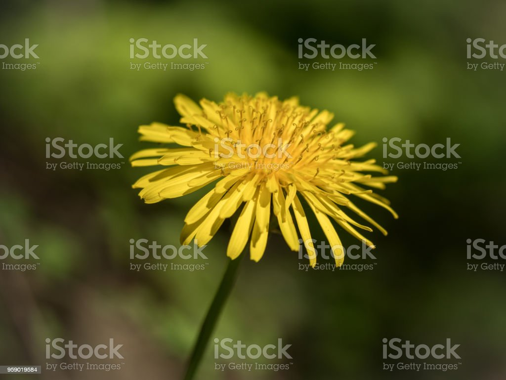 Dandelions - Freestanding - Macro - on colored background stock photo