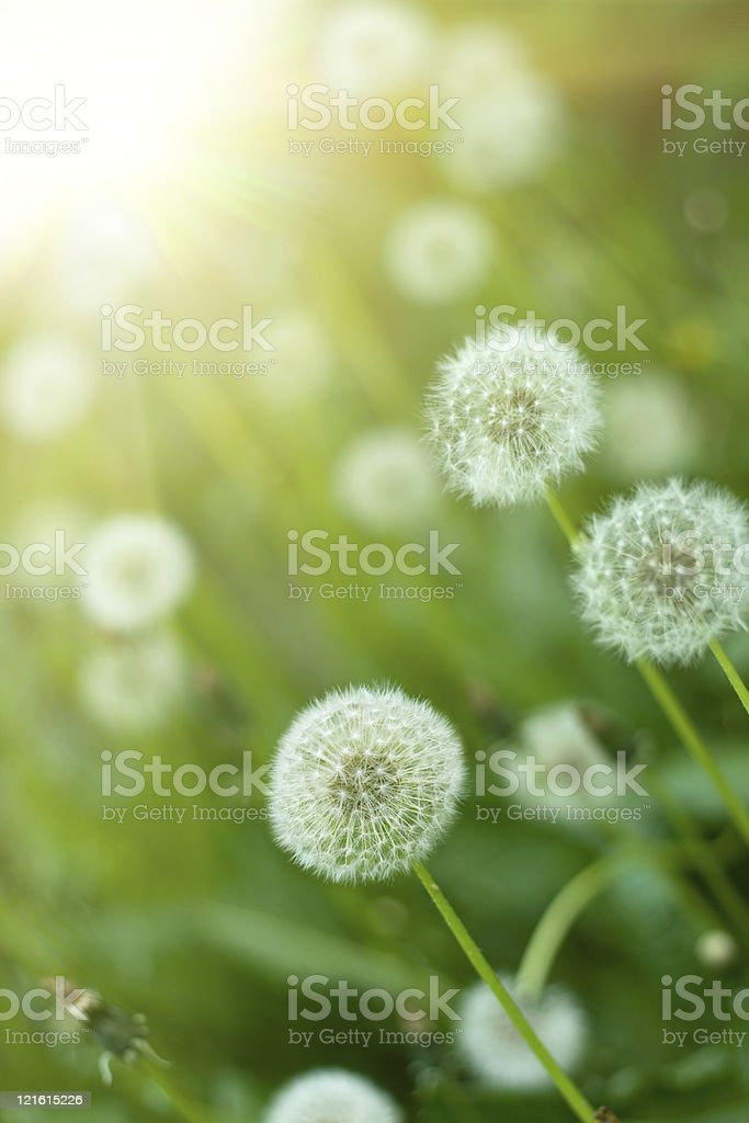Dandelions in a grass field with a blurred sun background  royalty-free stock photo