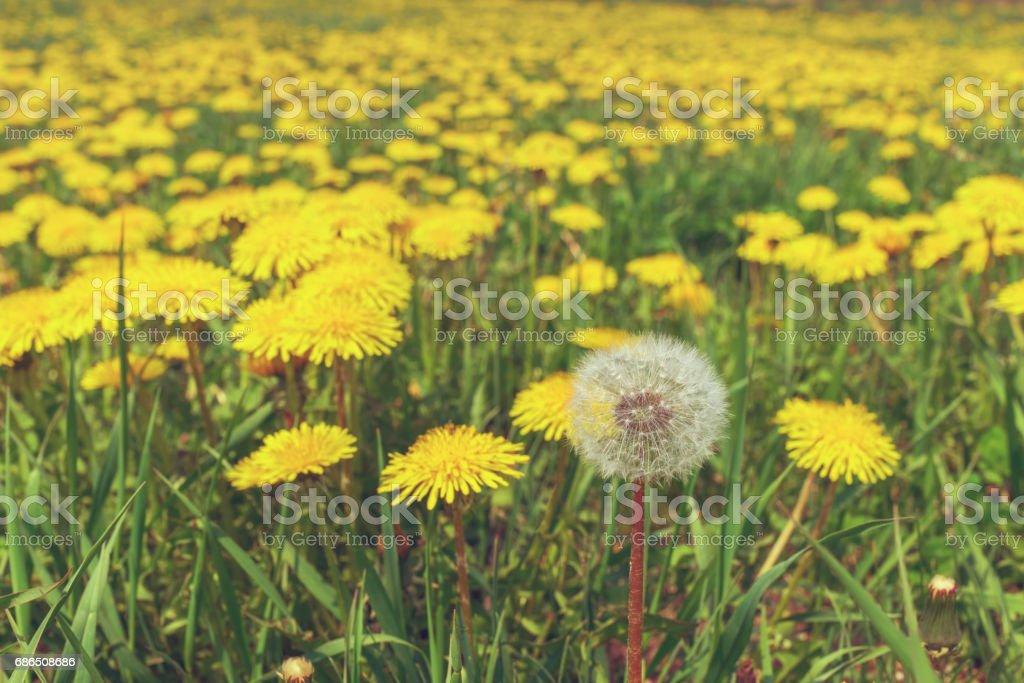 Dandelions in a meadow royaltyfri bildbanksbilder
