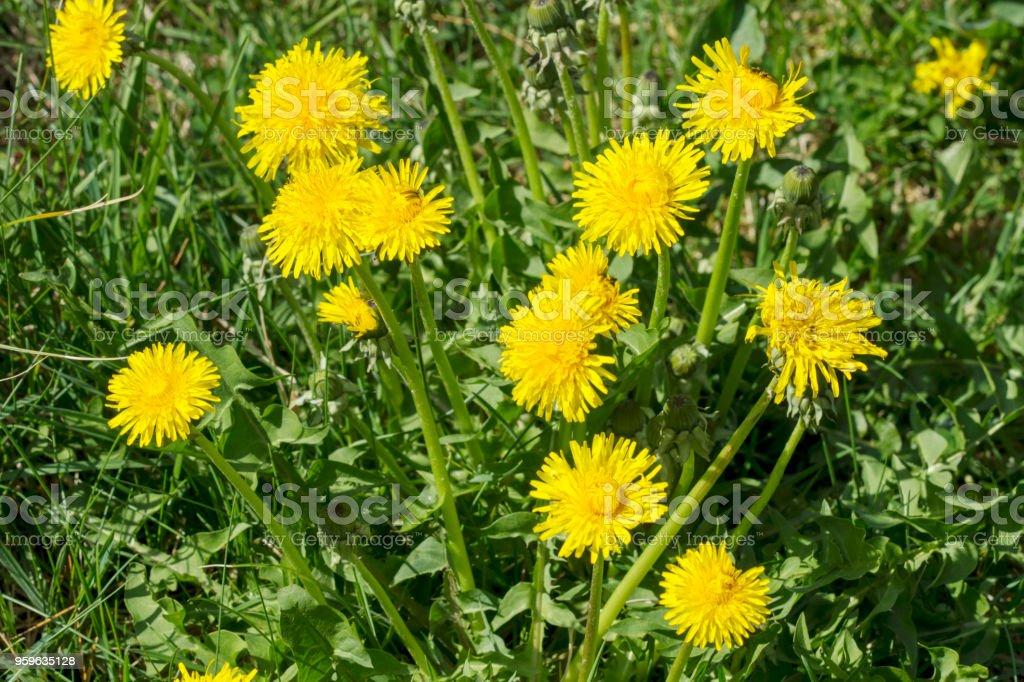 Dandelions en un prado - Foto de stock de Aire libre libre de derechos