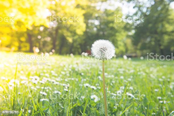 Dandelions in a spring picture id678736782?b=1&k=6&m=678736782&s=612x612&h=gc89qfjhwn5dphsormijillszhj0p2vzsqqmi83 jfm=