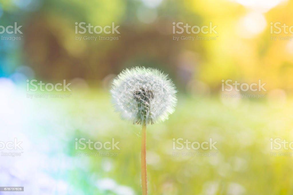Dandelions bir bahar royalty-free stock photo