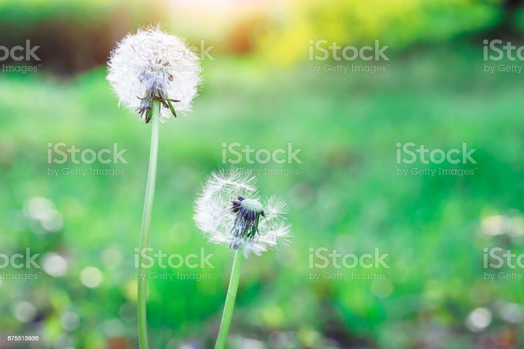 dandelions in green field photo libre de droits
