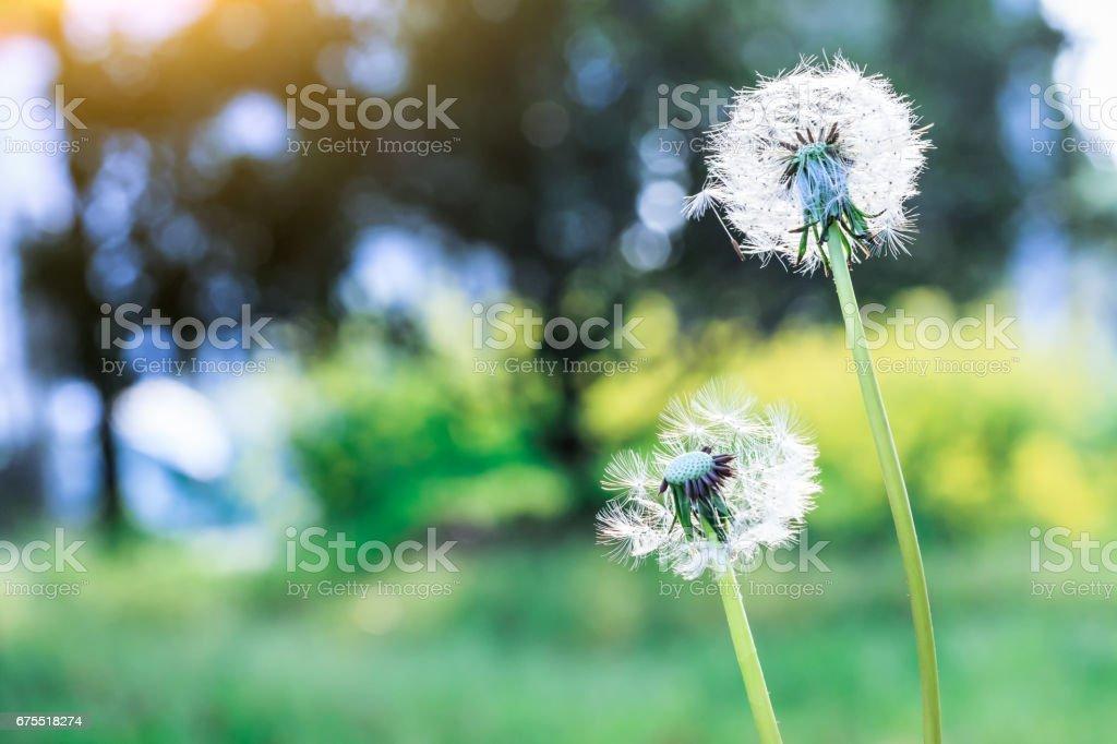 dandelions in green field royalty-free stock photo