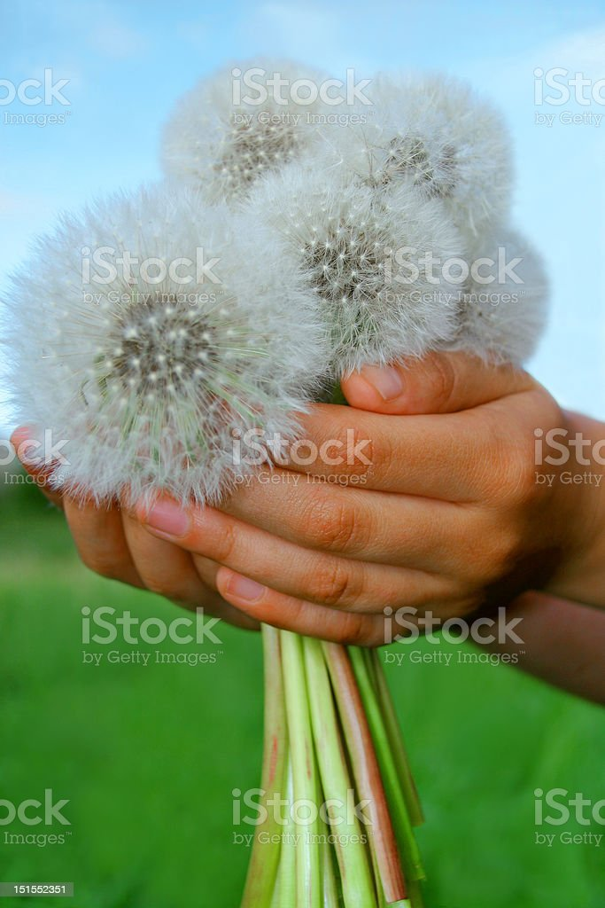Dandelions in hands of the child royalty-free stock photo