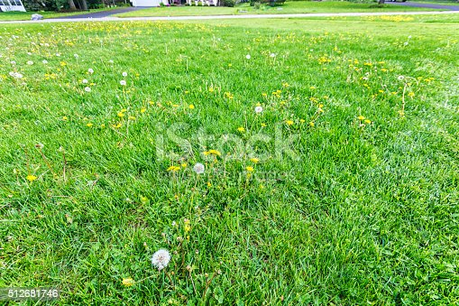 Dandelion weeds dominated before the start of this now partially completed early spring mowing of a suburban residential district home front yard lawn. Month of May near Rochester, New York.