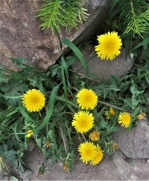 Dandelions in SUmmer stock photo