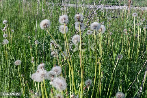 White dandelions in the high grass lit by the summer sun